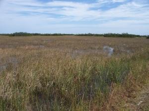 Everglades grasses
