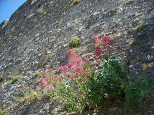 Castle wall wildflowers