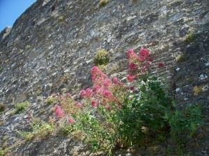 Castle wall wildflowers