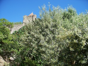 Olive trees below the castle