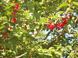 Cherries in the wild