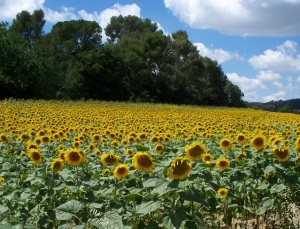 A field of sunflowers near Limoux
