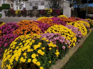 Chrysanthemums at the war memorial